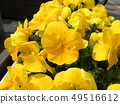Yellow flower of pansy 49516612