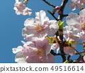 Flower of full bloom Inagekaigan Ekimae 49516614