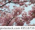 Flower of full bloom Inagekaigan Ekimae 49516736