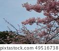 Flower of full bloom Inagekaigan Ekimae 49516738