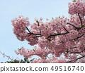 Flower of full bloom Inagekaigan Ekimae 49516740