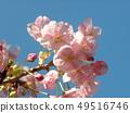 Flower of full bloom Inagekaigan Ekimae 49516746