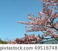 Flower of full bloom Inagekaigan Ekimae 49516748