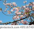 Flower of full bloom Inagekaigan Ekimae 49516749