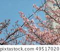 Flower of full bloom Inagekaigan Ekimae 49517020
