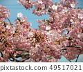Flower of full bloom Inagekaigan Ekimae 49517021