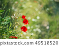 Red poppy, symbol of Albania, in Historic city of Berat in Albania 49518520