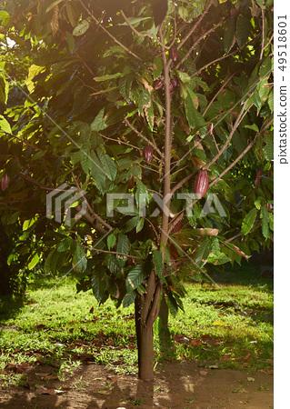 One chocolate tree 49518601