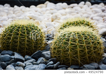 Golden barrel cactus or Echinocactus grusonii 49524790