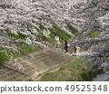 佐保川 따라 벚꽃 49525348
