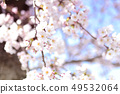 Yoshino cherry tree 49532064