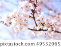 Yoshino cherry tree 49532065