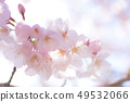Yoshino cherry tree 49532066