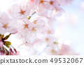Yoshino cherry tree 49532067