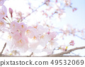 Yoshino cherry tree 49532069