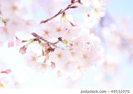 왕 벚나무 49532070