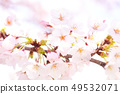 Yoshino cherry tree 49532071