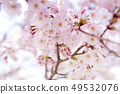 Yoshino cherry tree 49532076