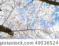 벚꽃 49536524