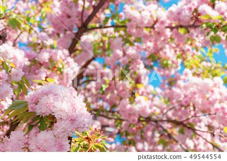 buds of cherry blossom 49544554