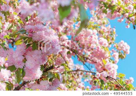buds of cherry blossom 49544555