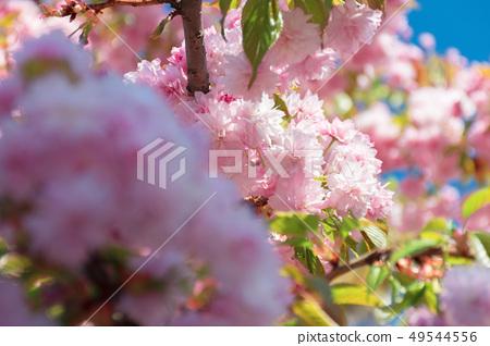buds of cherry blossom 49544556