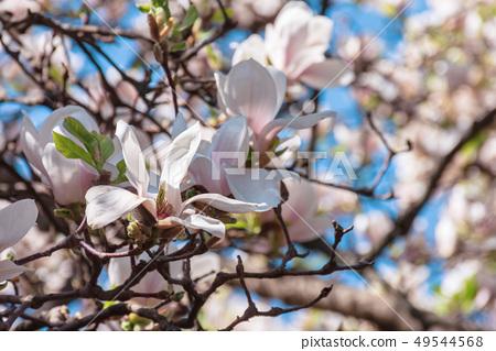 buds of white magnolia blossom 49544568