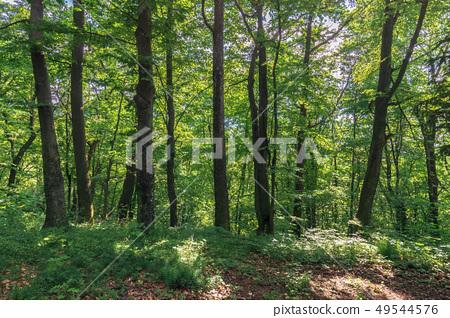 beech forest on the hillside 49544576