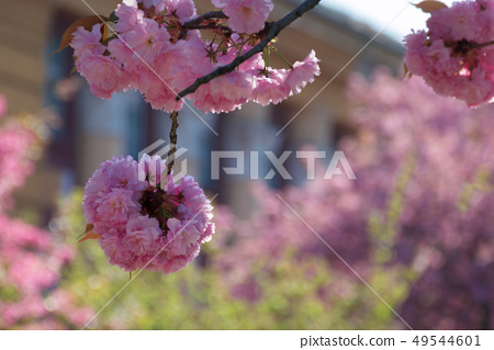 streets of old town in sakura blossom 49544601