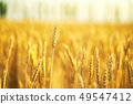 Field of wheat  at the end of summer fully ripe 49547412