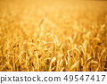 Ears of golden wheat close up. 49547417