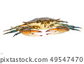 blue crab isolated on white background 49547470