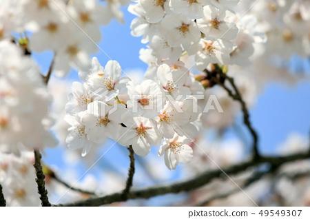 四月(三重縣)伊賀上野城的櫻花 49549307