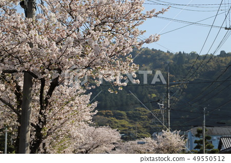 Cherry blossom trees 49550512