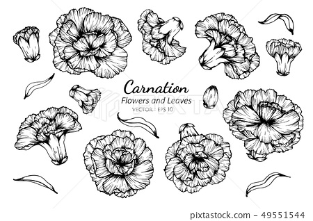 set of carnation flower and leaves drawing 49551544