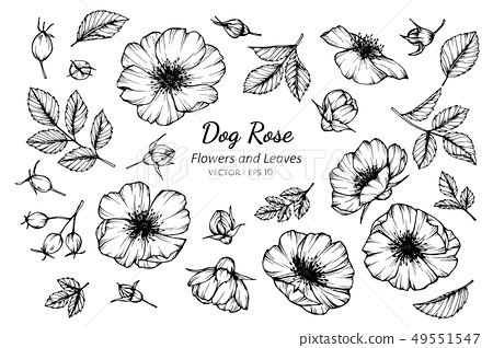 set of dog rose flower and leaves drawing 49551547