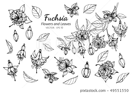 set of fuchsia flower and leaves drawing 49551550
