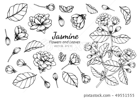 set of jasmine flower and leaves drawing 49551555