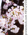 Yoshino cherry tree 49552350