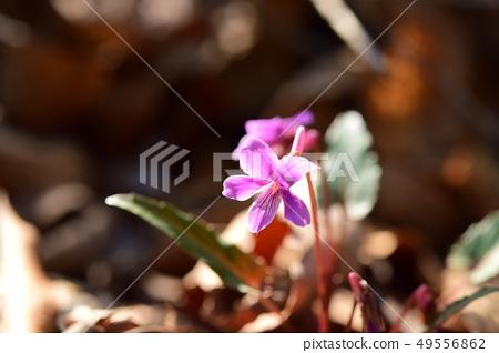 Safflower violet 49556862