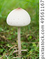 False parasol, Green-spored parasol  49561167