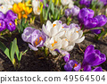 Blossom field of crocus flowers at spring 49564504