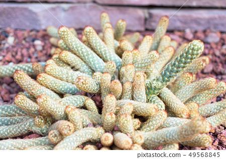 Cholla yellow cactus 49568845