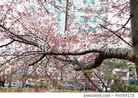 벚꽃 49569118