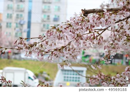 벚꽃 49569188
