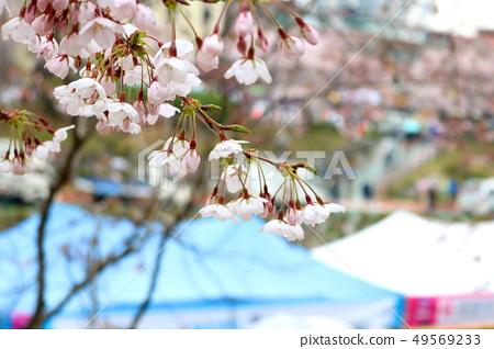 벚꽃 49569233