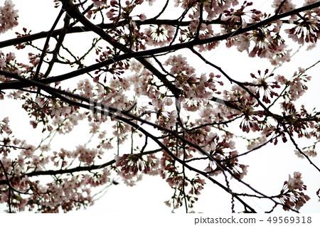 벚꽃 49569318