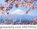 Sakura tree in Japan. Blooming cherry blossom 49570502