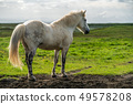 Icelandic horse in scenic nature of Iceland. 49578208