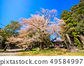 (시즈오카 현) 묘하게 法華寺 (妙 法華寺)의 하나로 벚꽃 49584997